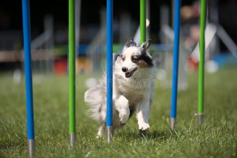 Perro blanco que hace eslalom en curso de la agilidad imagen de archivo