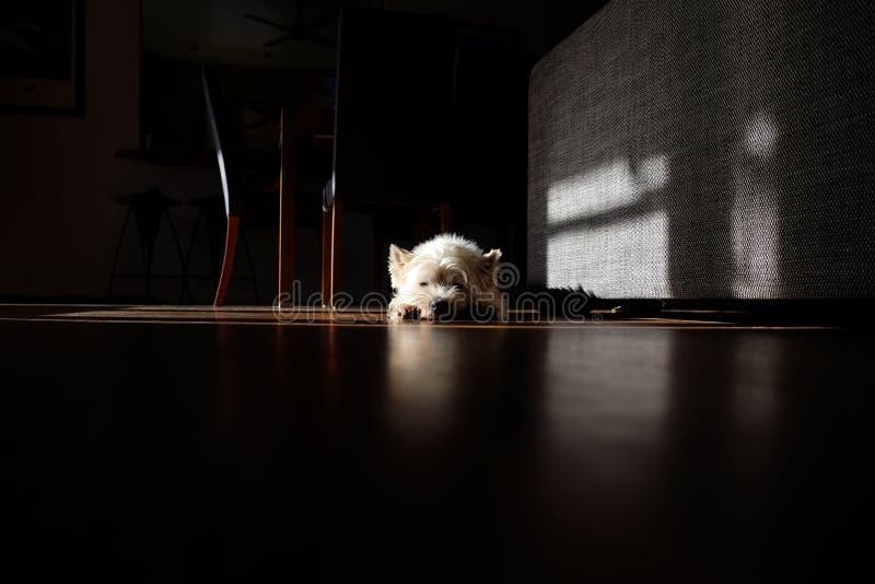 Perro blanco que toma el sol en un cuarto vago foto de archivo libre de regalías