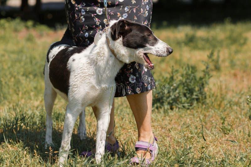 Perro blanco y negro amistoso en paseo al aire libre con el dueño femenino, fotografía de archivo
