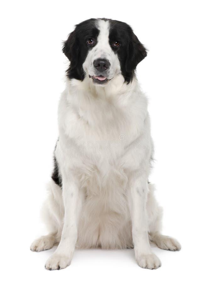 Perro blanco y negro de Landseer, sentándose imagen de archivo libre de regalías