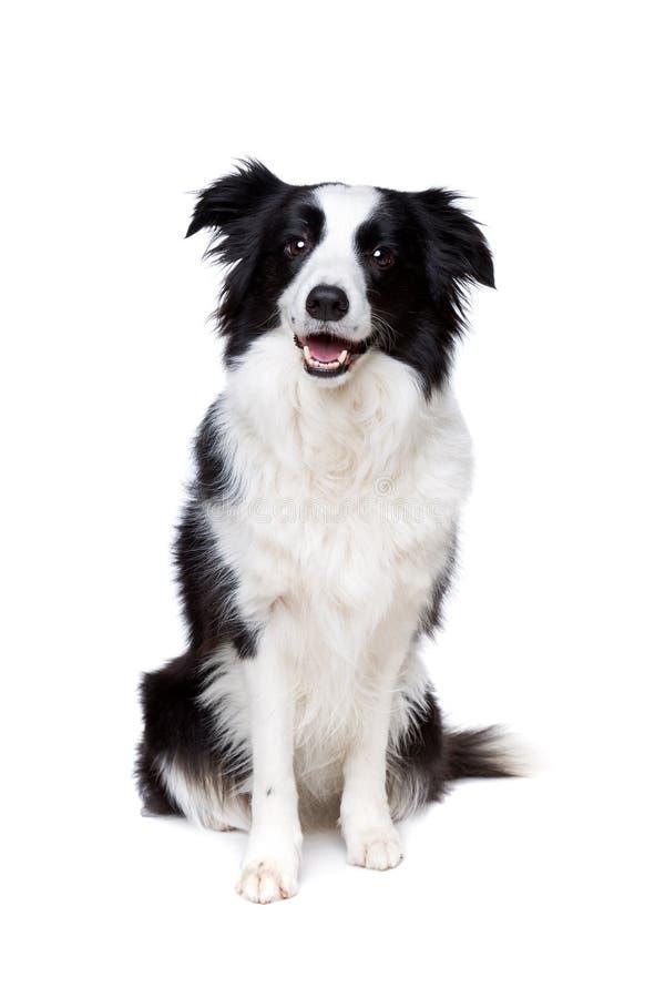 Perro blanco y negro del border collie foto de archivo