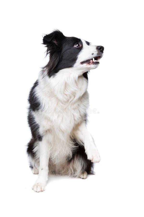 Perro blanco y negro del border collie fotografía de archivo libre de regalías
