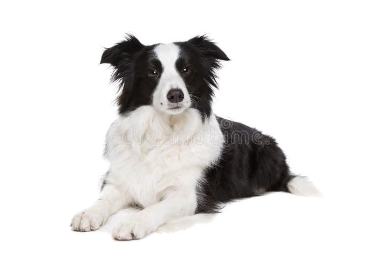 Perro blanco y negro del border collie imagen de archivo libre de regalías