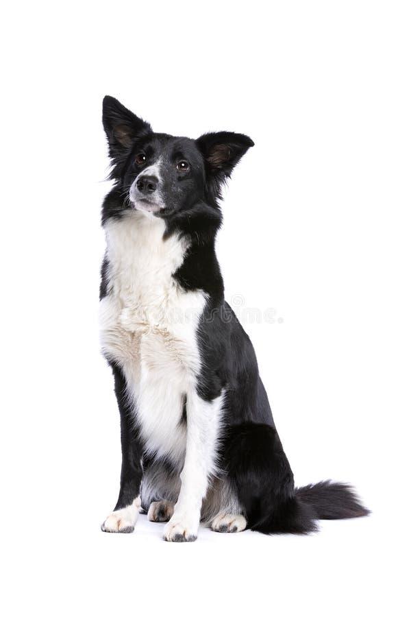 Perro blanco y negro del border collie imagenes de archivo