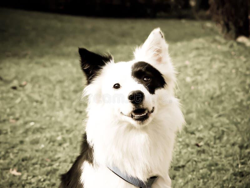 Perro blanco y negro en el prado, primer 5, mezcla del border collie foto de archivo
