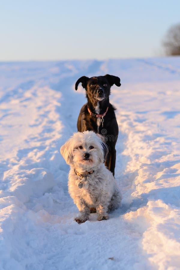 Perro blanco y negro en la nieve imagen de archivo