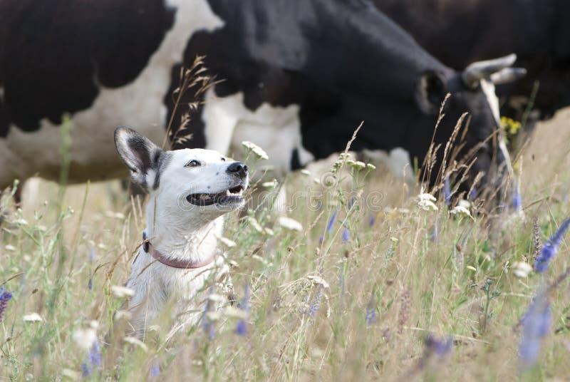 Perro blanco y vacas de la raza mezclada imágenes de archivo libres de regalías