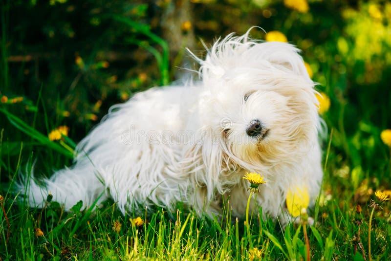 Perro boloñés blanco de Bichon que se sienta en hierba verde fotografía de archivo