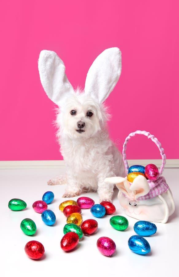 Perro bonito con los oídos del conejito y los huevos de Pascua fotografía de archivo