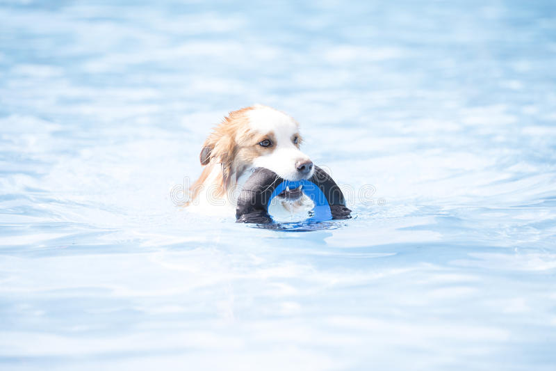 Perro, border collie, nadando y sosteniendo un juguete imagen de archivo libre de regalías