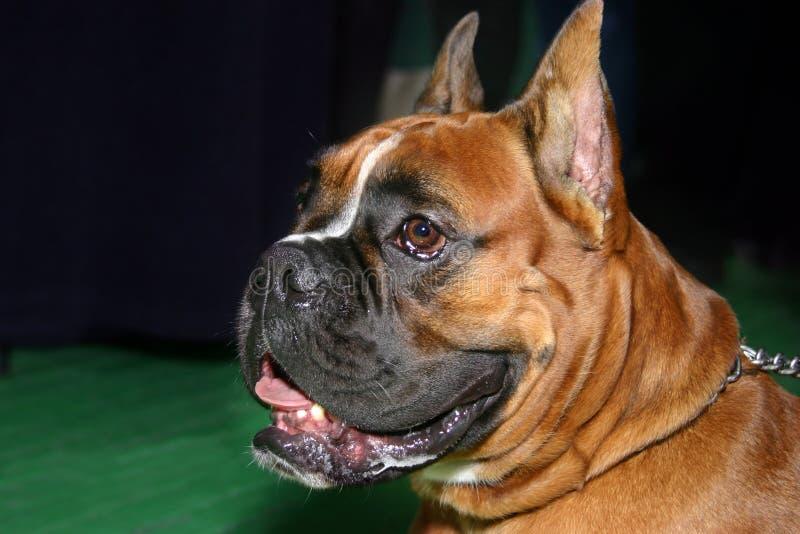 Perro - boxeador imagen de archivo