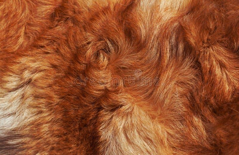 Perro brillante-rojo de las lanas macras fotografía de archivo