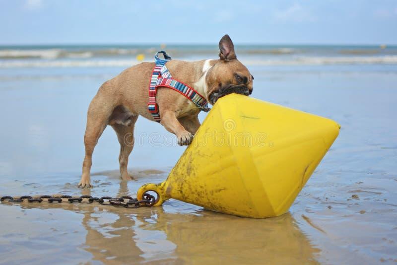 Perro Bulldog francés jugando en la playa tratando de comer una gran boya amarilla fotos de archivo libres de regalías