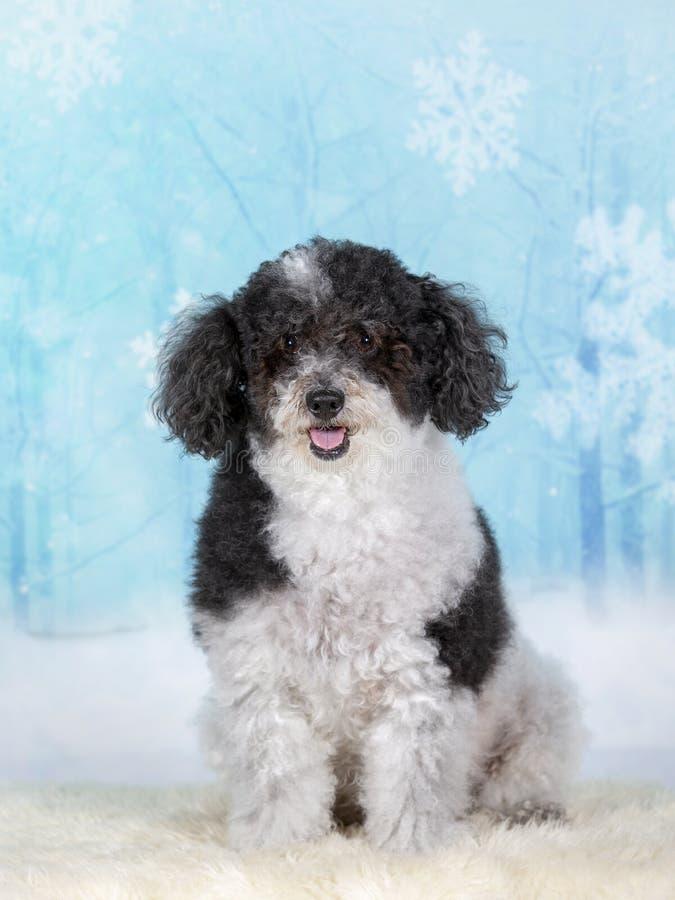Perro cabelludo rizado de la Navidad en un estudio imagen de archivo libre de regalías
