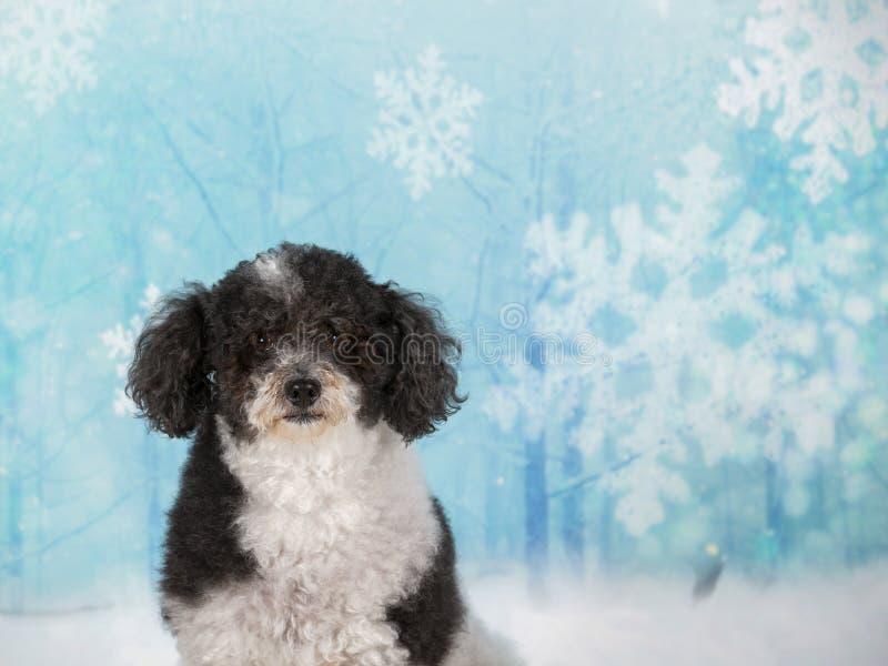 Perro cabelludo rizado de la Navidad en un estudio fotografía de archivo