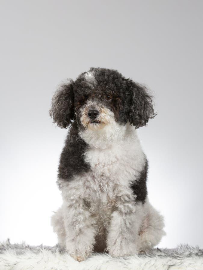 Perro cabelludo rizado en un estudio foto de archivo libre de regalías