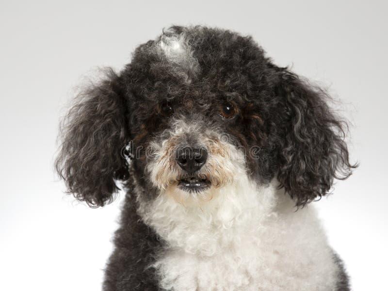 Perro cabelludo rizado en un estudio imagenes de archivo