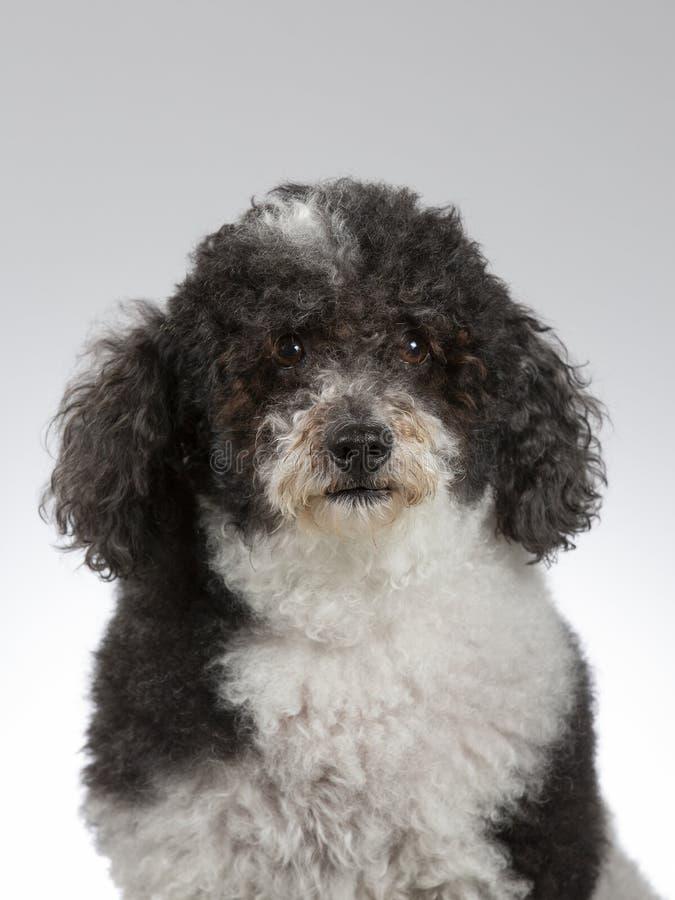 Perro cabelludo rizado en un estudio imagen de archivo libre de regalías
