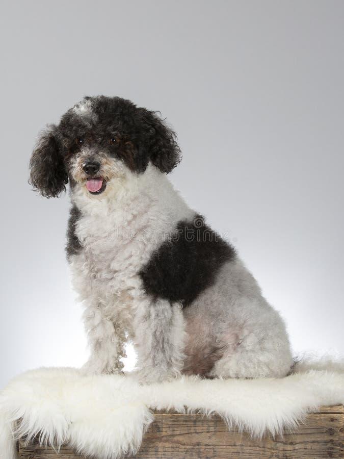 Perro cabelludo rizado en un estudio imágenes de archivo libres de regalías