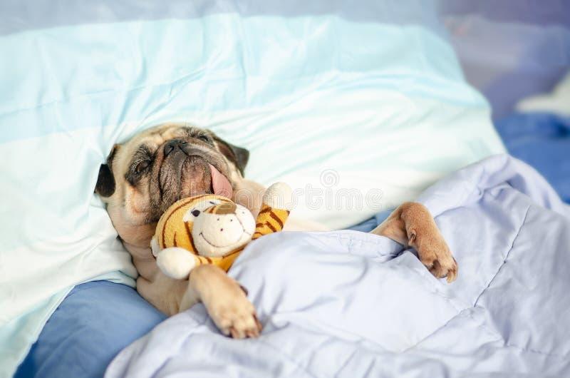 Perro cachorro picante descansa en cama envuelto con manta con juguete favorito y lengua pegada fotos de archivo libres de regalías