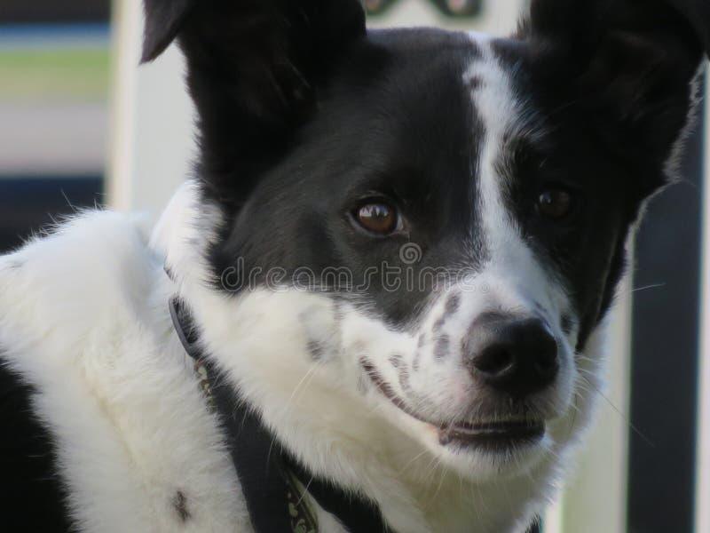 Perro callejero tonto de la mezcla del border collie que sonríe astuto imagen de archivo