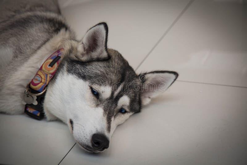 Perro cansado del husky siberiano que pone la cabeza del primer del piso imagen de archivo