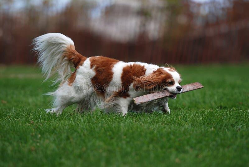 Perro casero foto de archivo