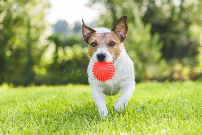 Perro casero de Jack Russell Terrier que corre con la bola del juguete en el césped del patio trasero imagenes de archivo