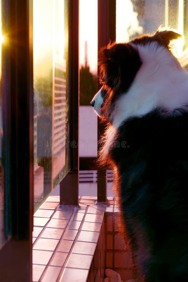Perro casero del border collie en la puesta del sol fotografía de archivo