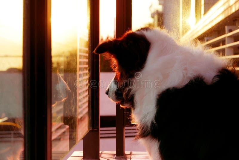 Perro casero del border collie en la puesta del sol fotografía de archivo libre de regalías