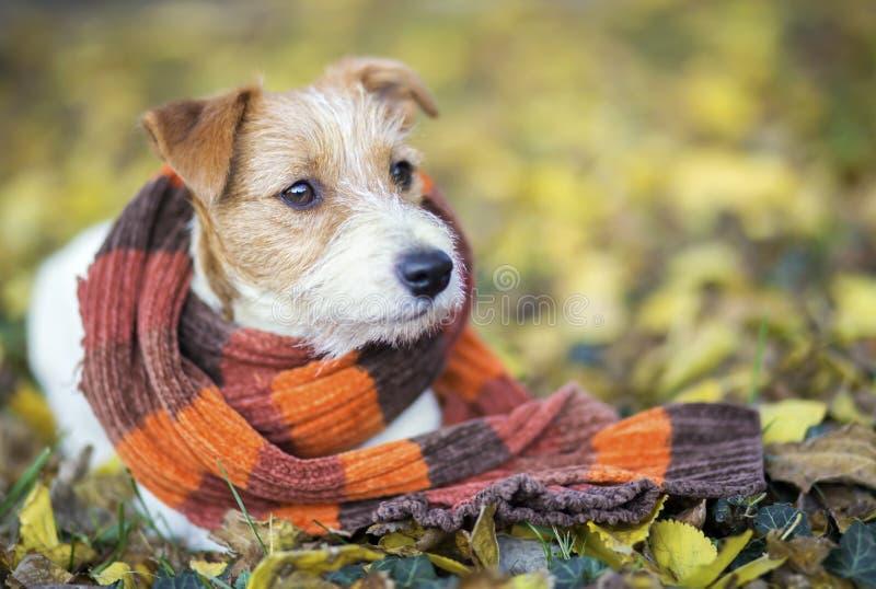 Perro casero lindo como bufanda que lleva - tarjeta de Navidad, concepto del invierno fotos de archivo