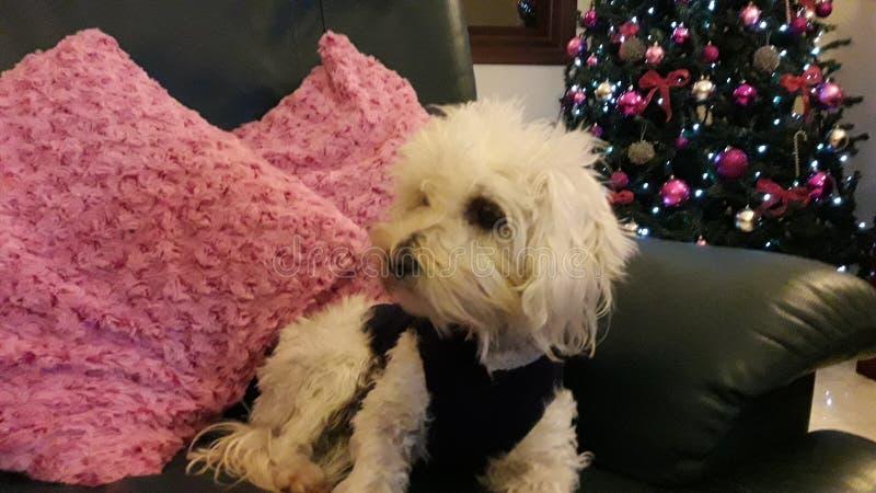 Perro casero lindo que mira el fondo de la decoración de la Navidad de la TV imagenes de archivo