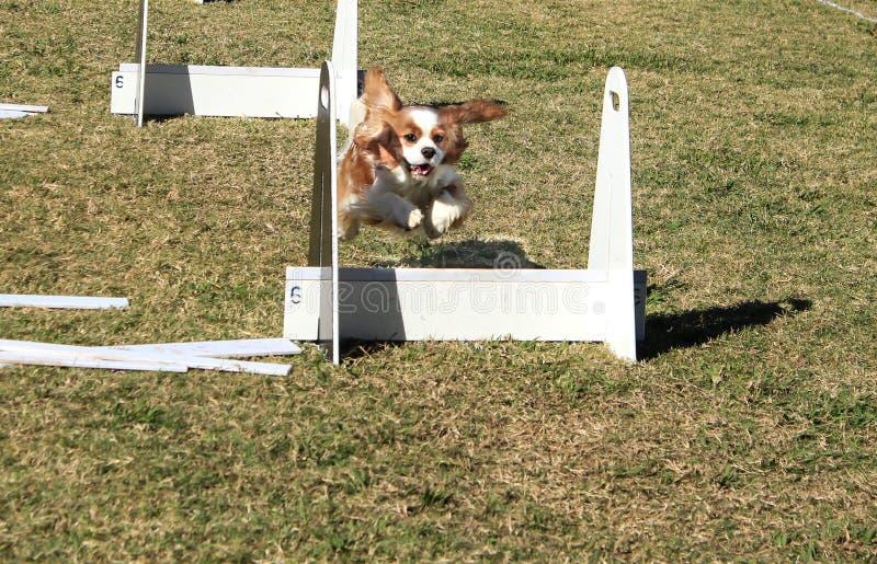 Perro casero que salta sobre curso de la agilidad fotos de archivo libres de regalías