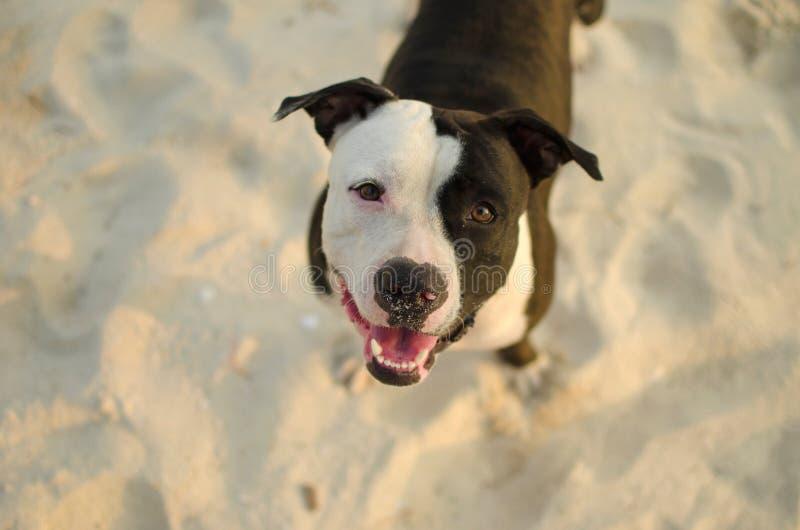 Perro cercano para arriba en arena imagenes de archivo