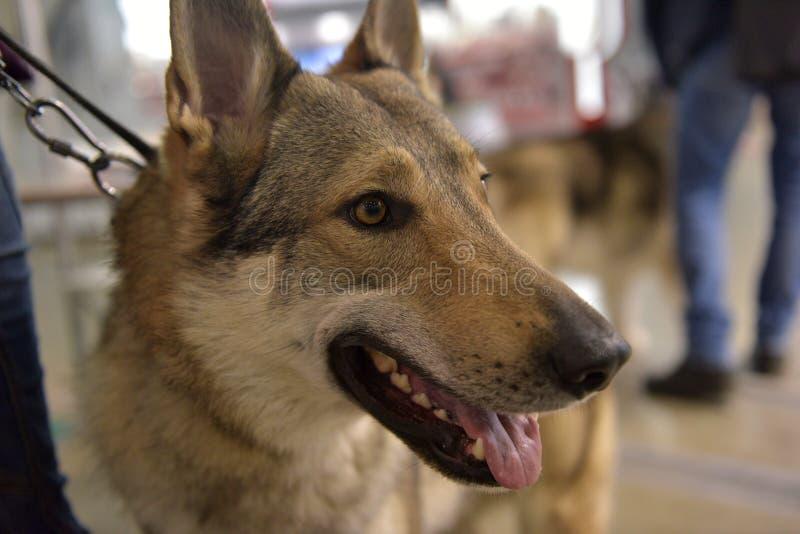Perro checoslovaco del lobo fotografía de archivo libre de regalías