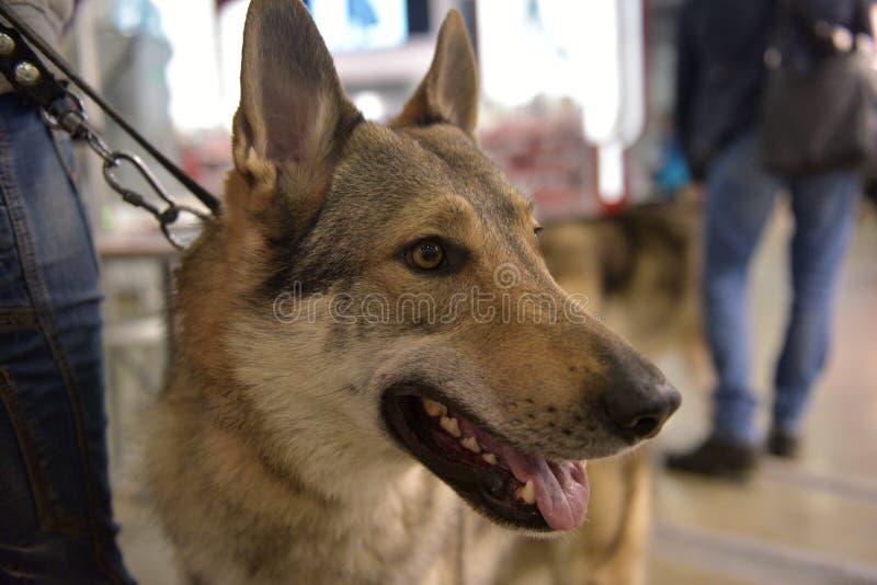 Perro checoslovaco del lobo fotos de archivo libres de regalías