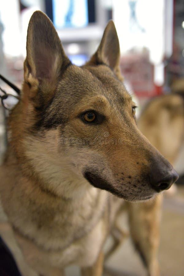 Perro checoslovaco del lobo foto de archivo