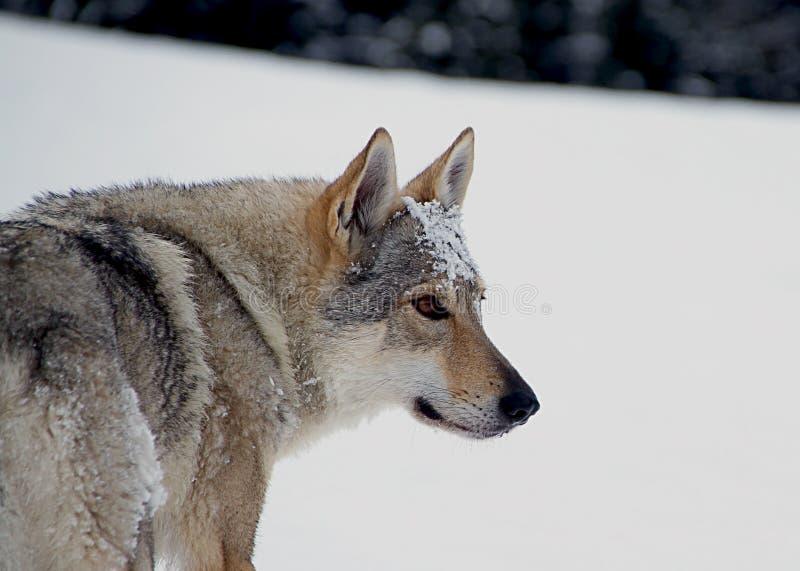 perro checoslovaco del lobo imagen de archivo
