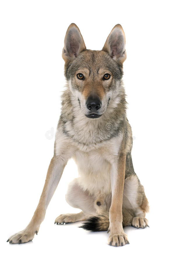 perro checoslovaco del lobo imagenes de archivo