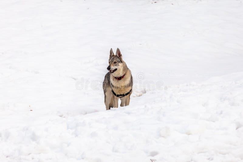 Perro checoslovaco del lobo en invierno imágenes de archivo libres de regalías