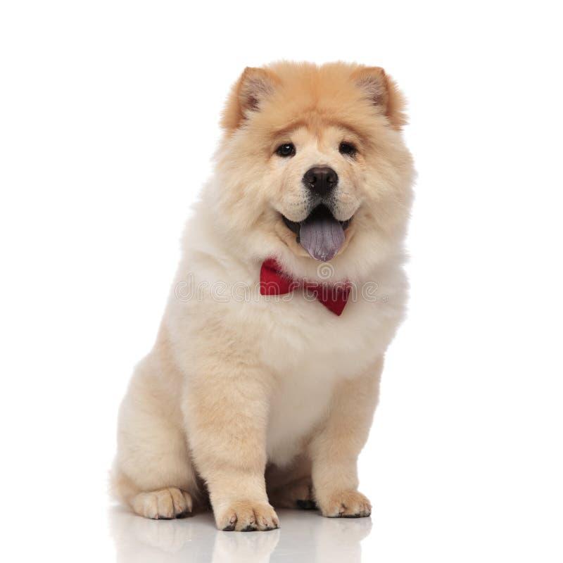 Perro chino de perro chino adorable que lleva el bowtie rojo que se sienta con la lengua expuesta foto de archivo libre de regalías