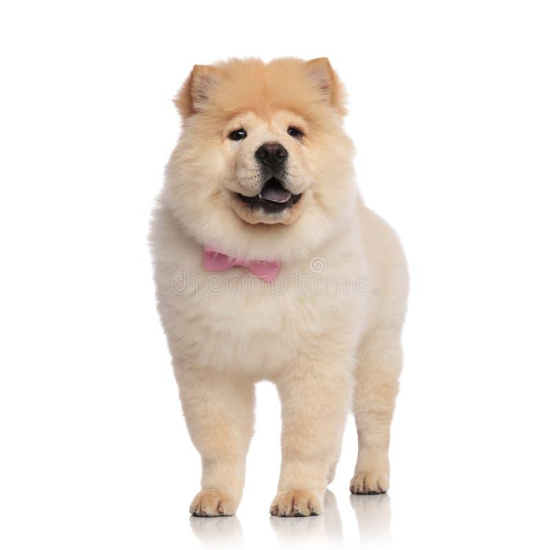 Perro chino de perro chino adorable que lleva miradas rosadas del bowtie para echar a un lado imagenes de archivo