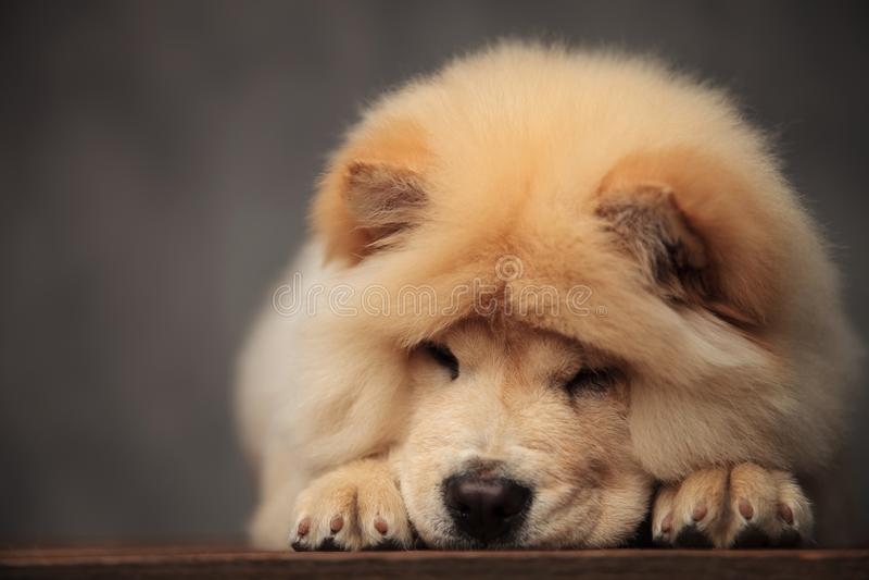 Perro chino de perro chino adorable que miente con la cabeza abajo en el piso de madera foto de archivo libre de regalías