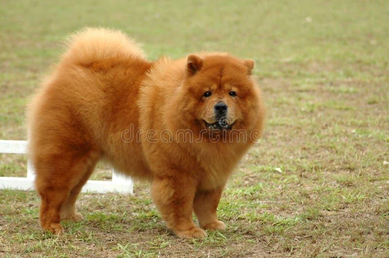 Perro chino de perro chino foto de archivo