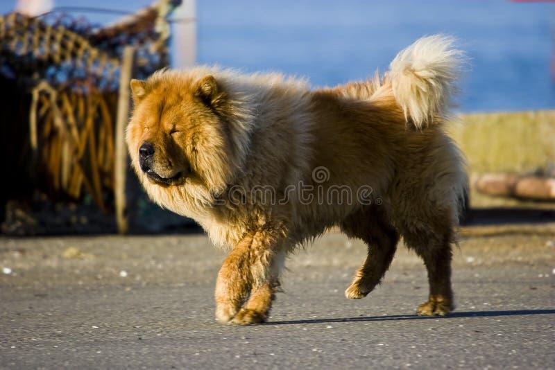 Perro chino de perro chino imagen de archivo libre de regalías