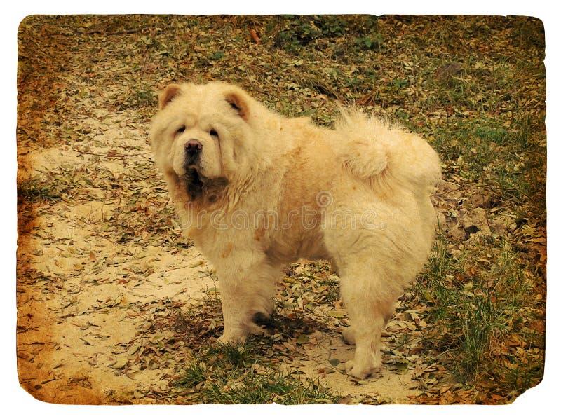 Perro chino de perro chino de la casta del perro. Postal vieja. libre illustration