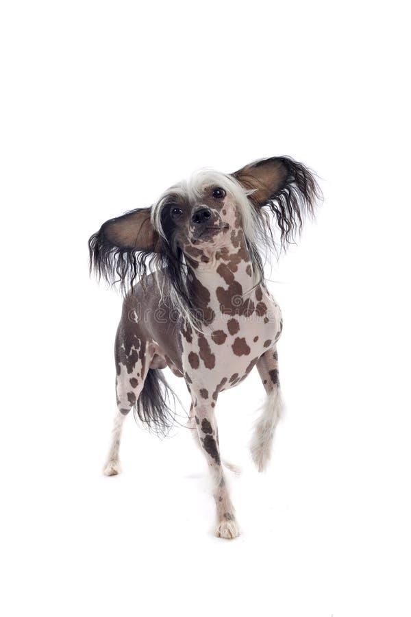 Perro chino de Tempe fotos de archivo libres de regalías