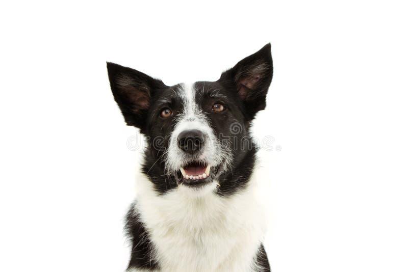 Perro collie fronterizo atento mirando hacia arriba aislado sobre fondo blanco imagen de archivo libre de regalías