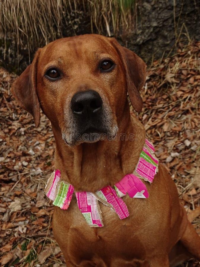 Perro comprensivo con el cuello de perro del papel usado fotos de archivo