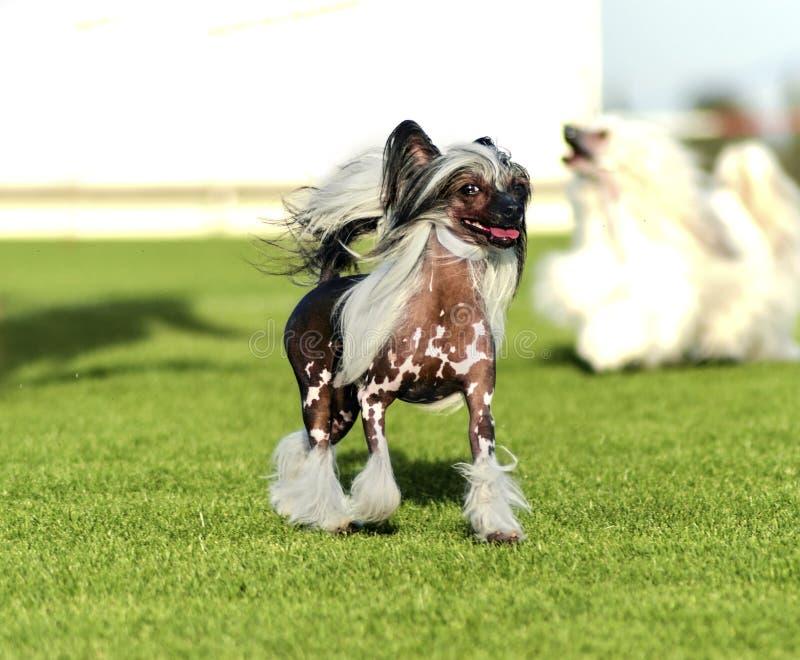 Perro con cresta chino imagenes de archivo